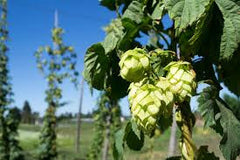 Hops (Humulus lupulus) Fresh Hop Flower Tincture
