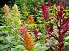 Amaranth Mix