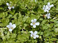 Brahmi (Bacopa monnieri) Fresh Flower and Leaf Tincture
