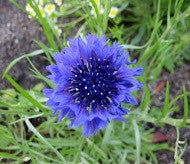Blue Bachelor's Button (Centaurea cyanus)