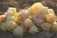Cossack Pineapple Ground Cherry (Physalis pubescens)