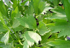 Lovage (Levisticum officinalis)