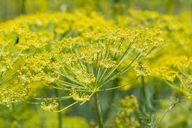 Fennel (Foeniculum vulgare) Seed Tincture