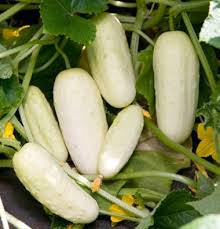 Miniature White (Pickling) Cucumber