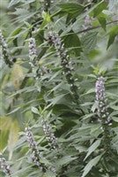 Motherwort (Leonurus cardiaca) Fresh Flowering Tops Tincture