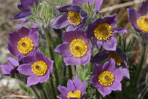 Pasque Flower (Pulsatilla patens syn. Anemone patens)