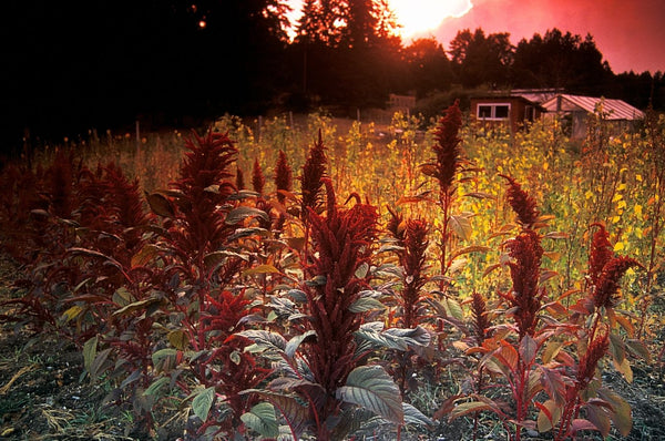 Shiny Black Amaranth (Amaranthus sp.)