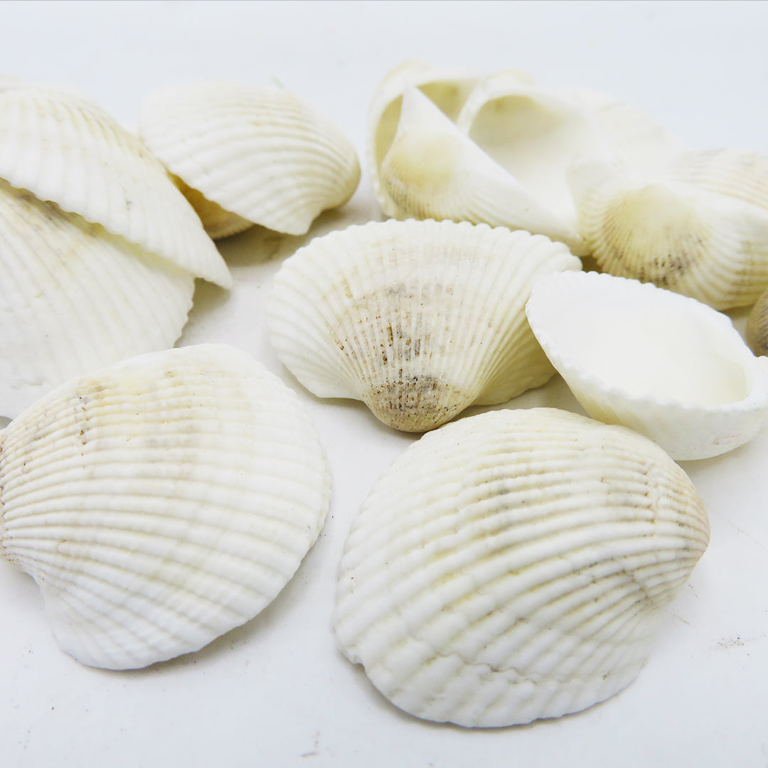 Decor Sea Shells - Cream White