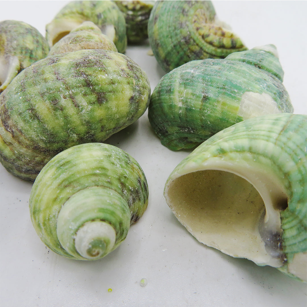 Decor Sea Shells - Ocean Green