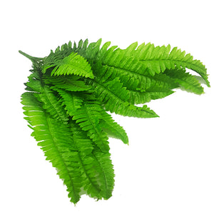 Tropical Plants - Beach Fern Bunch