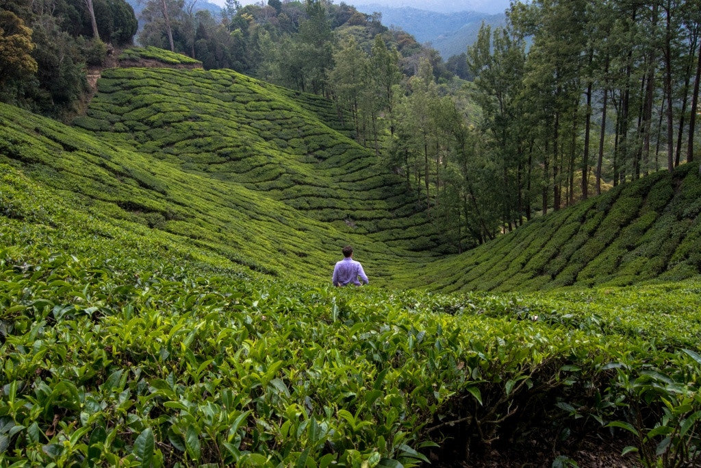 Searching for teas Tea plantation in India