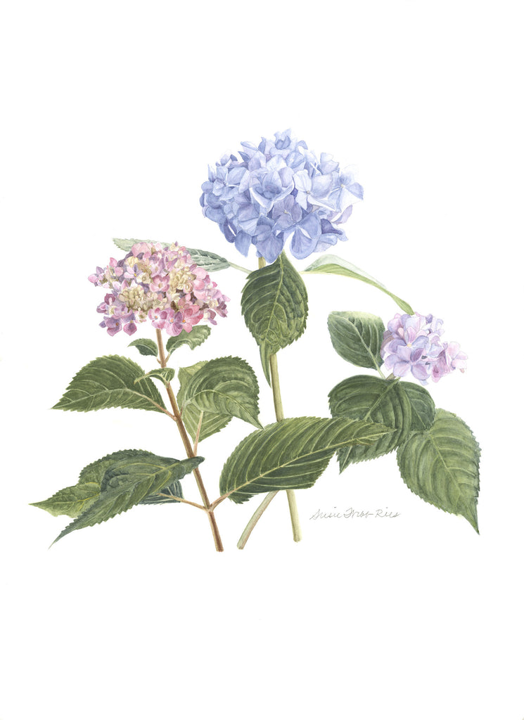 "b.  Hydrangeas Limited Edition Print, 12"" x 16"""