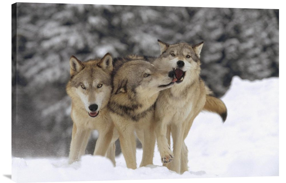 Timber Wolf Trio Playing in Snow, Montana