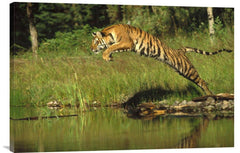 Siberian Tiger Leaping Across River, Asia