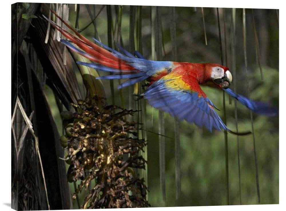 Scarlet Macaw Flying with Palm Nut, Costa Rica