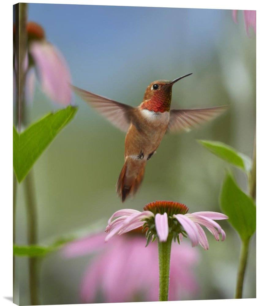 Rufous Hummingbird Male Feeding on Flower Nectar