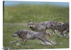 Gray Wolf Trio Running Through Water