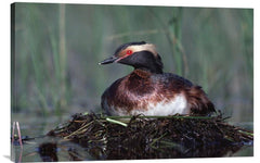 Horned Grebe Parent Incubating Eggs