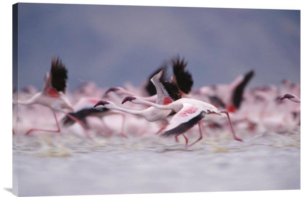 Lesser Flamingo Flock Taking Flight