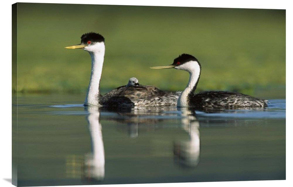 Western Grebe Couple With One Parent Carrying Chick On Its Back, New Mexico