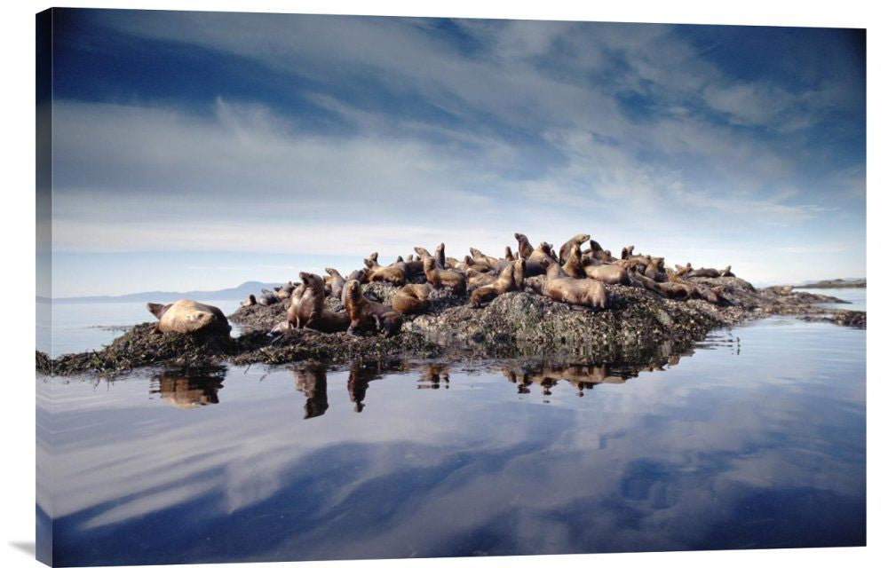 Steller's Sea Lion Group Hauled Out on Coastal Rocks, Brothers Island, Alaska