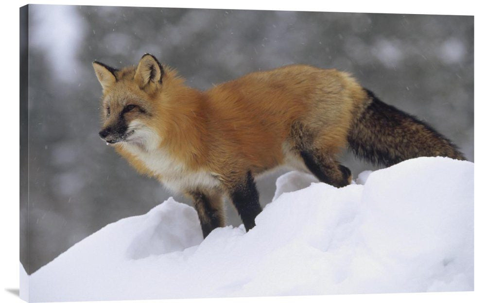 Red Fox Standing at the Top of a Snow Bank, Montana