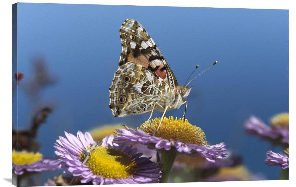 Painted Lady Butterfly Feeding on Purple Aster, California