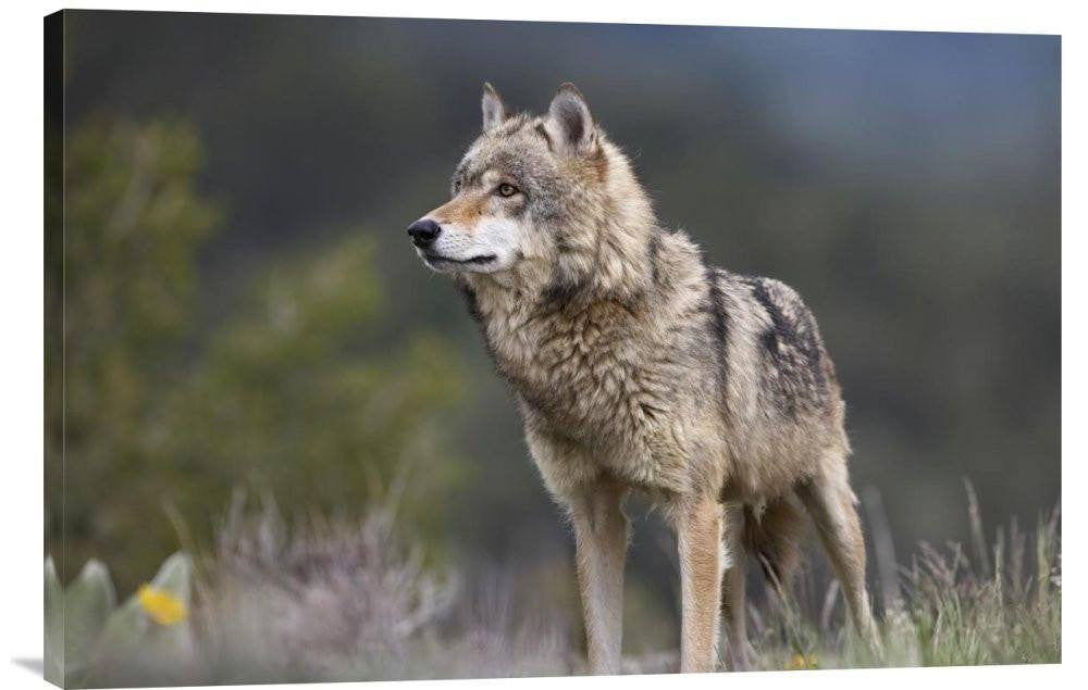 Gray Wolf, North America