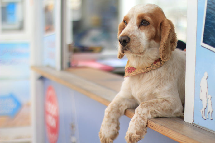 Three Ways To Care For Senior Dogs