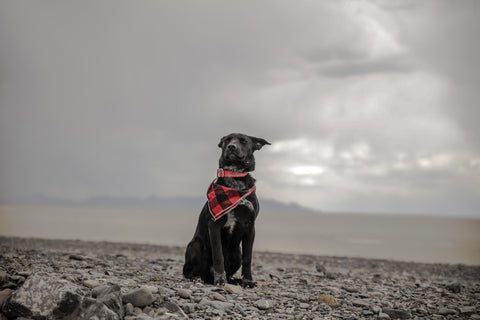 dog on island natural disasters pet safety