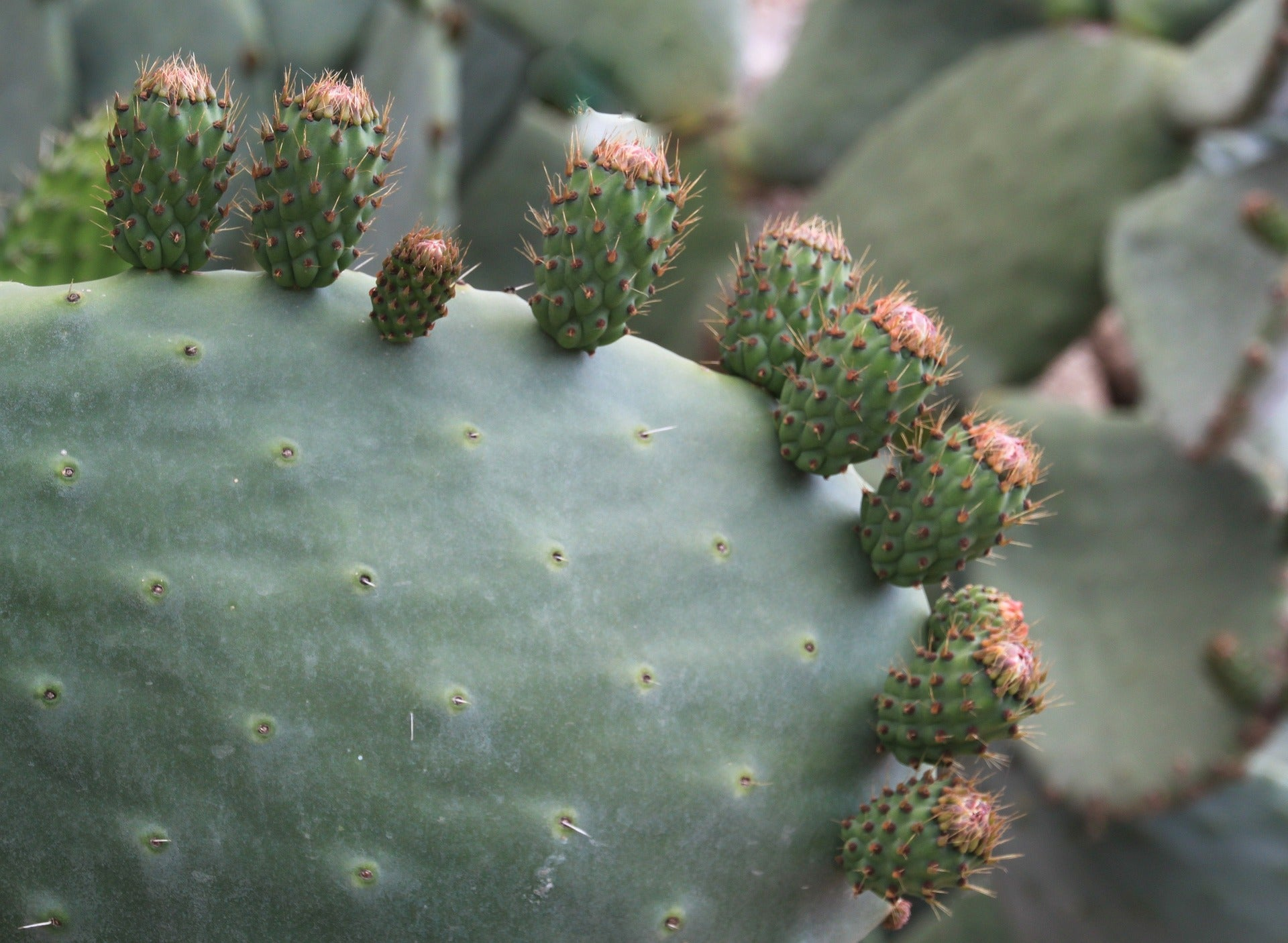 Prickly pear aka barbary fig