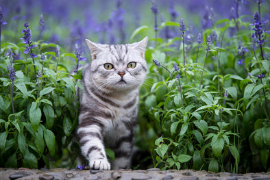 Why Cats Love Lavender (dried & in moderation!)