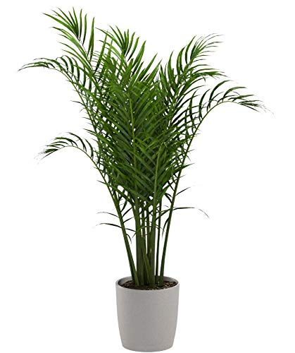 Majesty Palm Tree | Live Indoor Plant: 3 to 4-Feet Tall