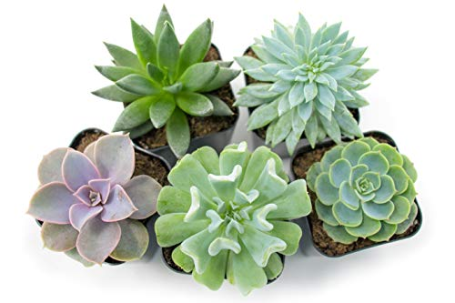 Succulent Plants Fully Rooted In Planter Pots With Soil 5 Pack