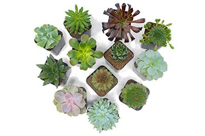 Succulent Plants Fully Rooted in Planter Pots with Soil: (5 Pack)