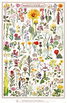 Wildflowers of the Desert Poster