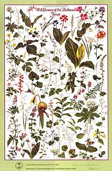 Wildflowers of the Redwood Forest Poster