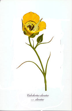 Watercolor Lily print - Calochortus clavatus