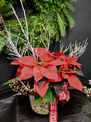 Festive Poinsettia Planter