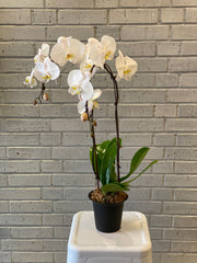 Classic Phal Orchid Plant