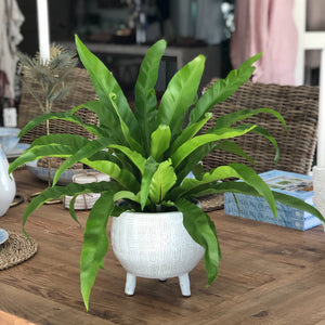 bird's nest fern in footed container