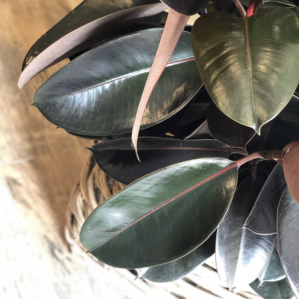 rubber plant in basket