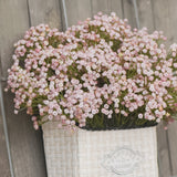 Pink Baby's Breath Spray #117-327