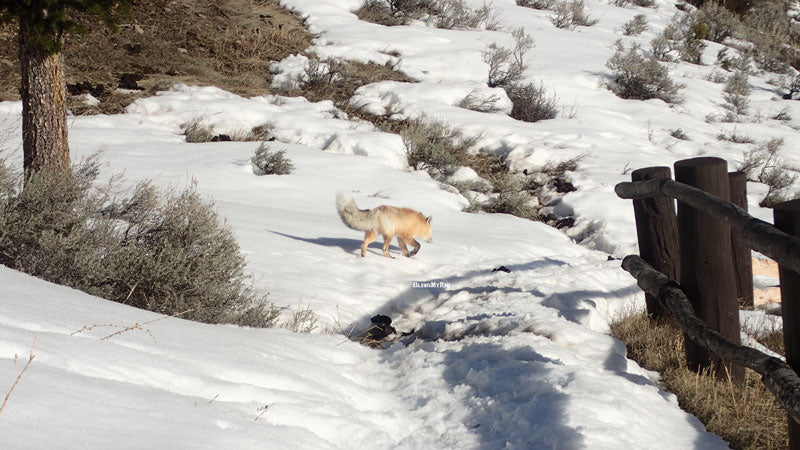 The red fox crosses my path