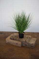 Cyprus Grass in a Plastic Pot - 15 Inches Tall