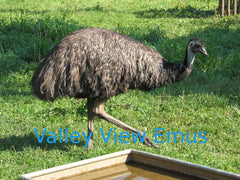 Valley View Emus