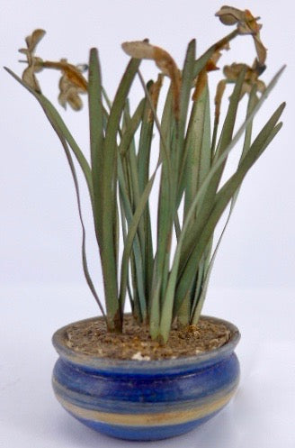 Beatrice Hindley signed pot of daffodils, blue pot