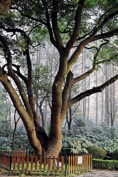 T'zikal Fragrance Highlight: How Wood Oil, Camphor Tree, Japan, Asia
