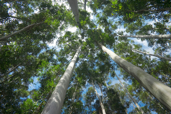 T'zikal Fragrance Highlight: Eucalyptus, Australia