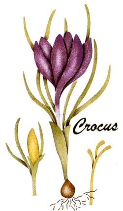 #344 Crocus Botanical